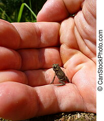 Tiny brown frog sitting on a human hand