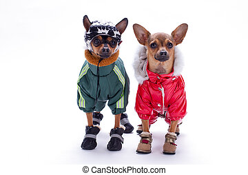 Tiny chihuahua and terrier toys in winter costumes.