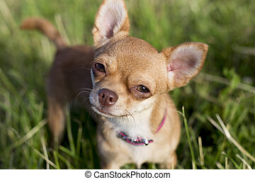tiny chihuahua on a grasse - a tiny chihuahua on a grassy...