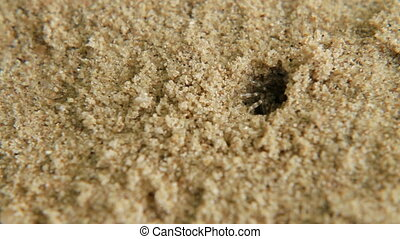 Tiny crab crawls out of hole. Sand beach on Phuket island, Thailand.