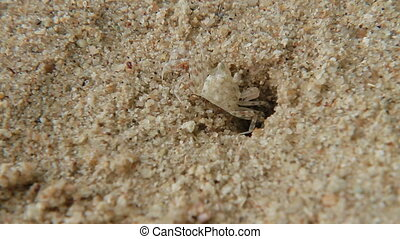 Tiny crab crawls out of hole. Sand beach on Phuket island, Thailand.