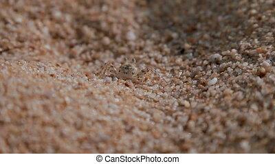 Tiny crab mimics beach sand. Phuket island, Thailand.