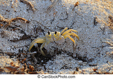 Tiny crab on the sand - Detail of tiny crab on cuban...