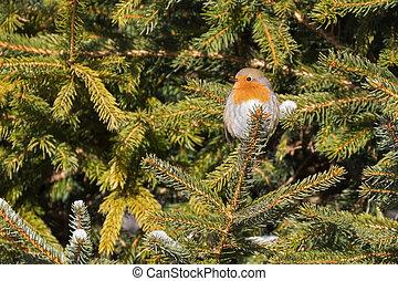 Tiny European robin redbreast bird sitting on pine tree...