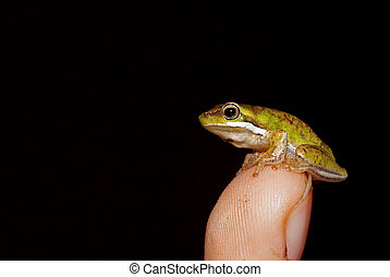 a tiny dwarf green tree frog (litoria fallax) is perched on the tip of a finger