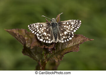 Tiny Grizzled Skipper butterfly on bramble leaf