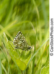 Grizzled Skipper butterfly, Pyrgus malvae, resting on a clover leaf