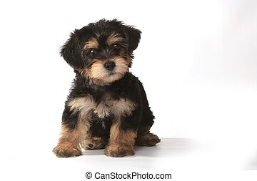 Tiny Miniature Teacup Yorkie Puppy on White Background - ...