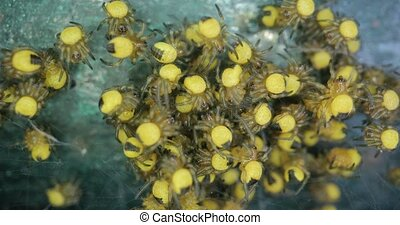 Cluster of baby spiders, European Garden Spider Araneus Diadematus, Cross spider younglings, 4k 60 fps