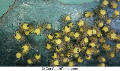 Tiny newborn garden spiders macro, Araneus diadematus - ...