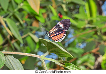 Tiny Red Cattle Heart Butterfly, Amazonian Rainforest, South...