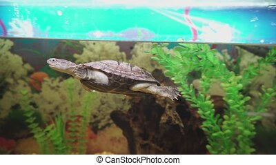 Tiny side-necked turtle swims in aquarium. - Tiny little...
