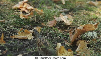 """""""Tiny sparrow looking for food, jumping in green grass...."""