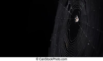 Tiny Spider on her Web against Black Background - Tiny...