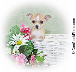 Tiny Spring Chahwahwa Puppy - A tiny chahwahwa puppy sitting...