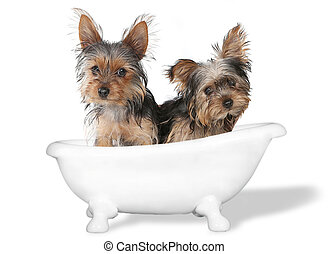 Teacup Yorkshire Terriers on White Bathing - Tiny Teacup ...