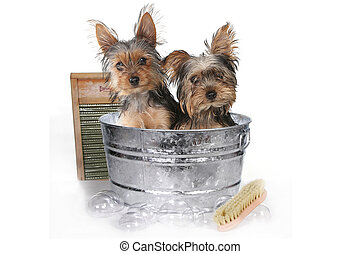 Teacup Yorkshire Terriers on White Bathing - Tiny Teacup...