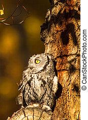 Western Screech Owl - Tiny Western Screech Owl sitting in...