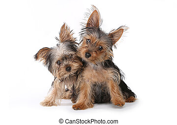 Yorkshire Terrier Puppies Sitting on White Background