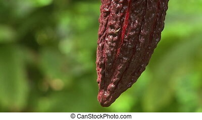 Tip of Cocoa Pod - Steady, extreme close up of a cocoa pod...