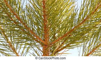 tip of pine close-up