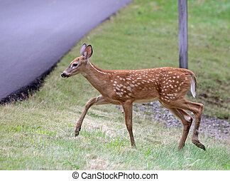 Tip Toeing Fawn - A cute White-tailed deer (Odocoileus ...