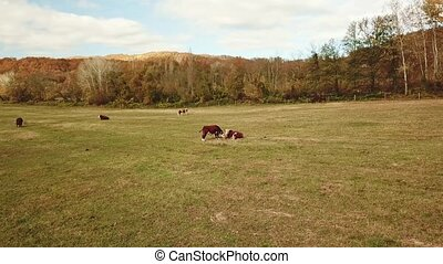tip view. cows graze on pasture in autumn. cattle in the field. livestock and farming. natural environmental product.
