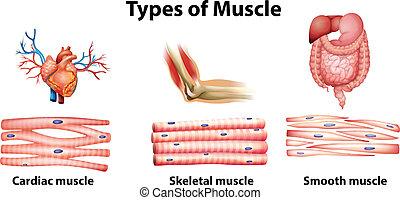 tipos, de, músculo