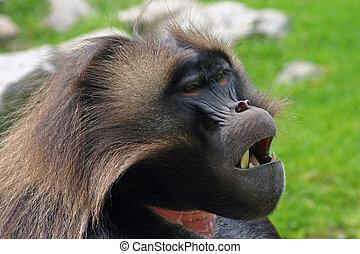 Tired Baboon - Sleepy looking Gelada Baboon.