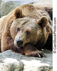 brown bear - tired brown bear in the sun