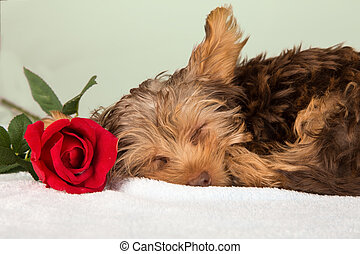 Tired cute little Yorkshire terrier resting on a soft bed...