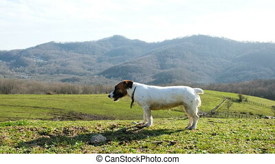 Tired dog jack russell terrier is breathing heavily in nature against the background of a green field