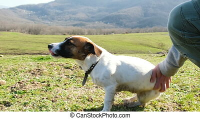 Tired dog jack russell terrier sits on nature against the background of a green field, hand moves a dog,
