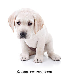 Tired Labrador puppy dog isolated on white