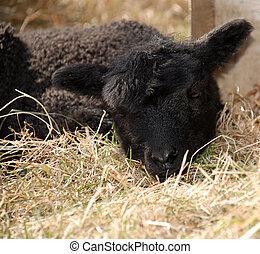 Tired lamb
