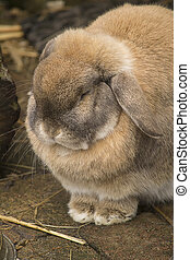 Lop eared rabbit falling asleep.