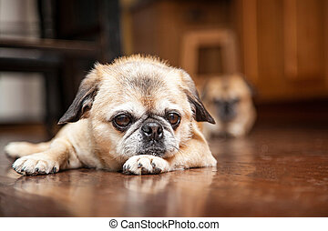Tired Pug Crossbreed Dog Laying on Wood Floor