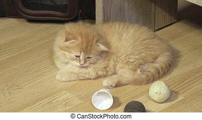 Tired Scottish fold kitten relaxing on floor
