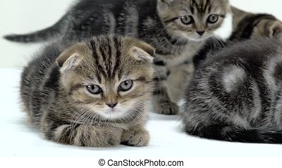 Tired scottish kittens lay down to sleep. White background....