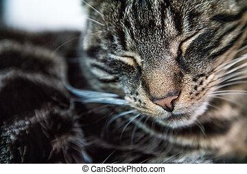 Tired tabby cat sleeping on a sofa - The tabby cat is...