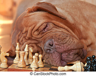Tiresome Game - Big Dog got tired of a long chess game