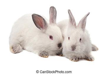 tiro, aislado, fondo., estudio, conejo, blanco