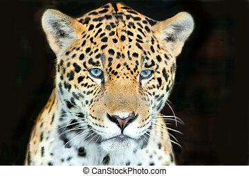 tiro, cabeza, jaguar