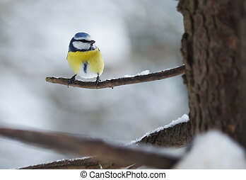 tit bird in the forest. winter