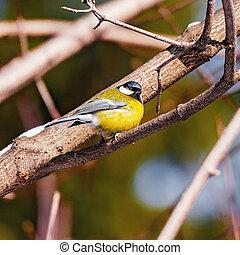 tit, branch., træ, fugl