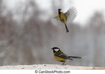 tit, fugl, vinter, feeder
