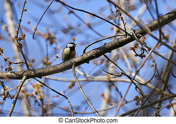 tit, great, træ, fugl