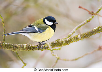 tit, great, træ, fugl, siddende