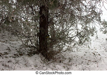 Tit hiding in the branches of thuja