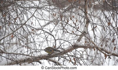 Tit in the snow sits on a birch branch